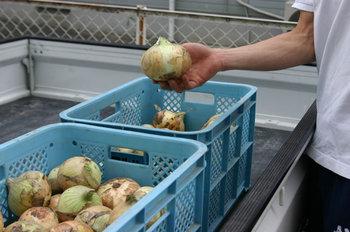 TANBO・中島さまよりいただいた玉ねぎの写真
